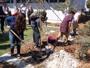 CMS students help plant four cherry trees donated by the Sunnyvale Sister City Association. The trees symbolize the lasting friendship between Sunnyvale and Iizuka, Japan.